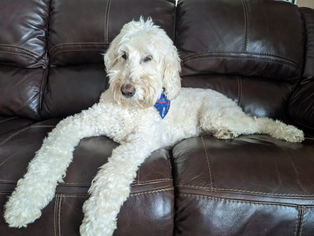 White doodle dog on couch