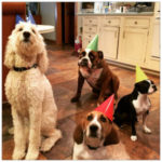 A white large dog and three smaller brown and white dogs in a kitchen with birthday hats on
